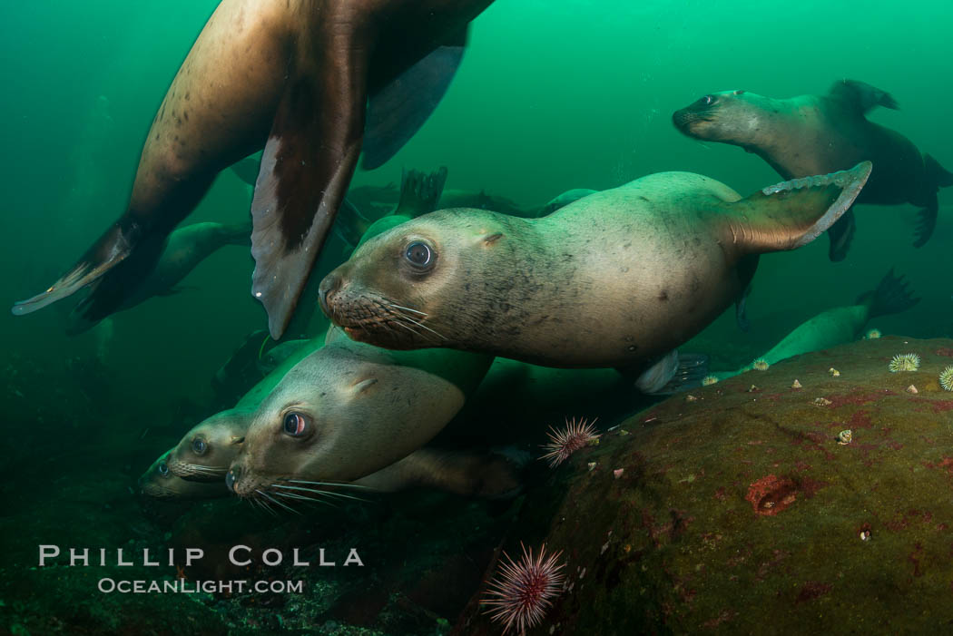 Steller sea lions underwater, Norris Rocks, Hornby Island, British Columbia, Canada. Hornby Island, British Columbia, Canada, Eumetopias jubatus, natural history stock photograph, photo id 32778