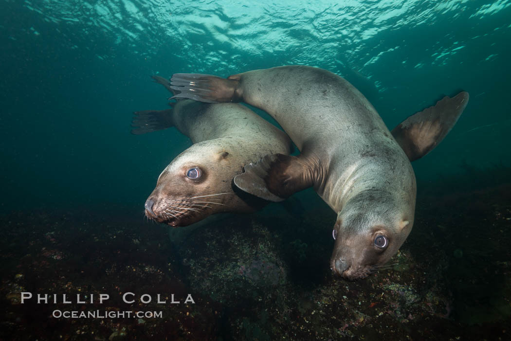 Steller sea lions underwater, Norris Rocks, Hornby Island, British Columbia, Canada., Eumetopias jubatus, natural history stock photograph, photo id 32664