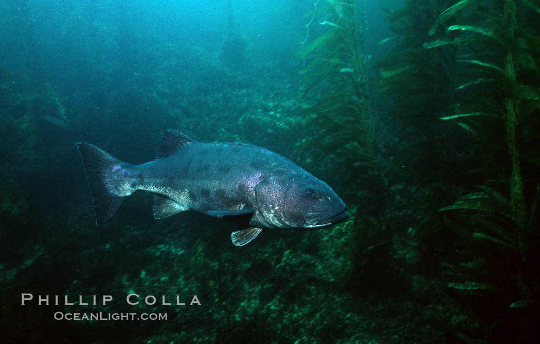 Giant Black Sea Bass Photo, Stock Photograph of a Giant ...