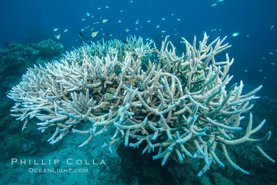 Staghorn coral Acropora palifera on pristine Fijian coral reef, Acropora palifera, Vatu I Ra Passage, Bligh Waters, Viti Levu  Island