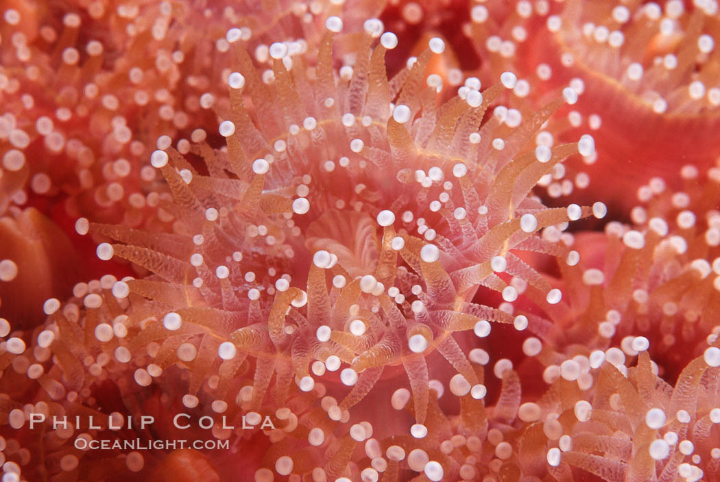 Strawberry anemone (club-tipped anemone, more correctly a corallimorph). Scripps Canyon, La Jolla, California, USA, Corynactis californica, natural history stock photograph, photo id 05324