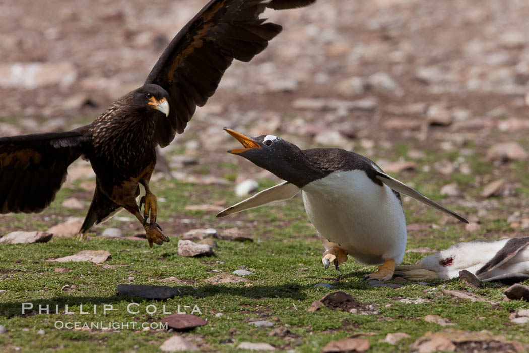 Gentoo penguin defends its dead chick (right), from the striated caracara (left) that has just killed it.  The penguin continued to defend its lifeless chick for hours, in spite of the futulity and inevitabliityof the final result.  Striated caracaras eventually took possession of the dead chick and fed upon it. Steeple Jason Island, Falkland Islands, United Kingdom, Phalcoboenus australis, Pygoscelis papua, natural history stock photograph, photo id 24075