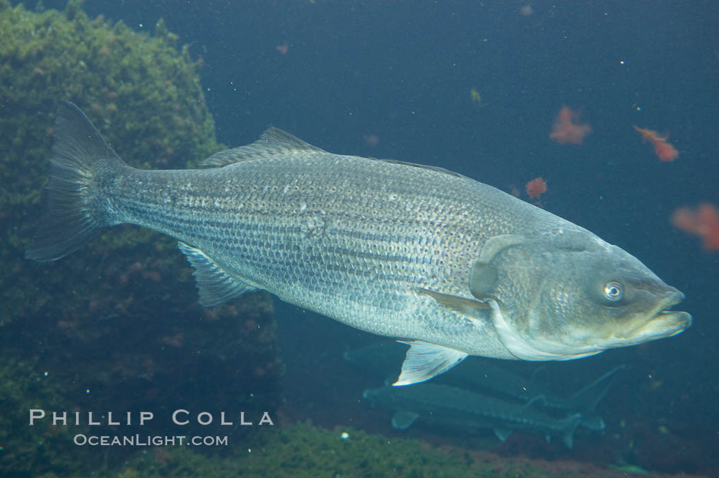 Striped bass (striper, striped seabass)., Morone saxatilis, natural history stock photograph, photo id 10986
