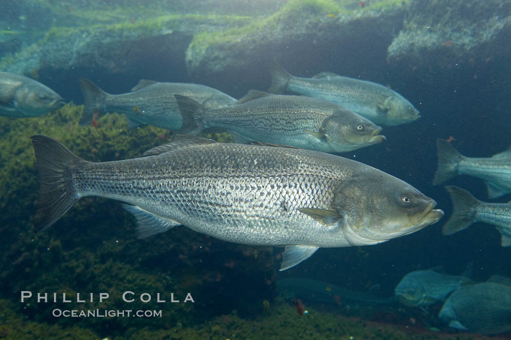 Striped bass (striper, striped seabass)., Morone saxatilis, natural history stock photograph, photo id 10987