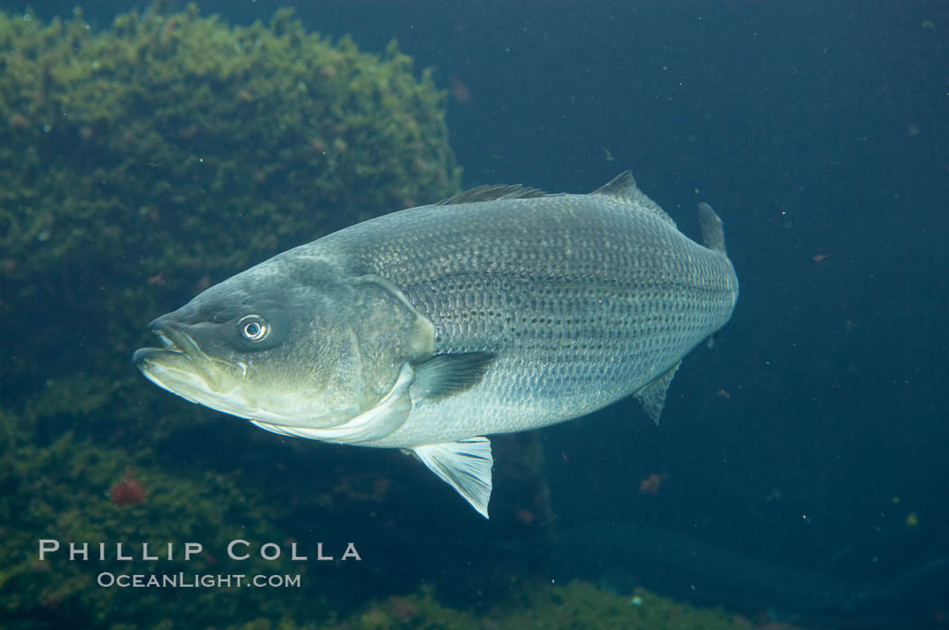 Striped bass (striper, striped seabass)., Morone saxatilis, natural history stock photograph, photo id 10977