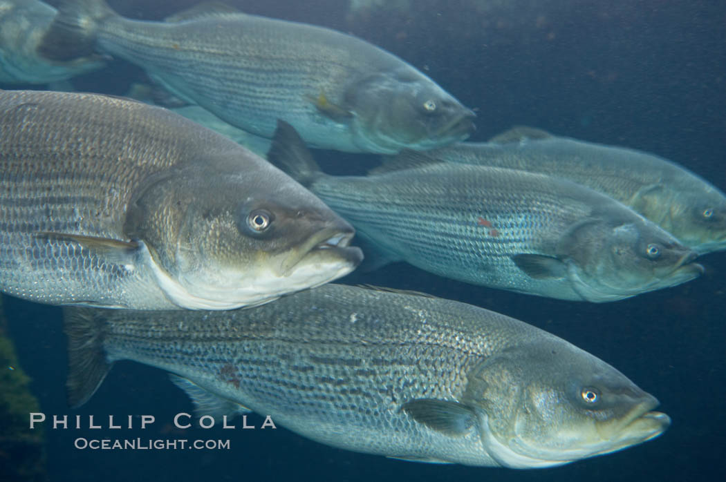 Striped bass (striper, striped seabass)., Morone saxatilis, natural history stock photograph, photo id 10981
