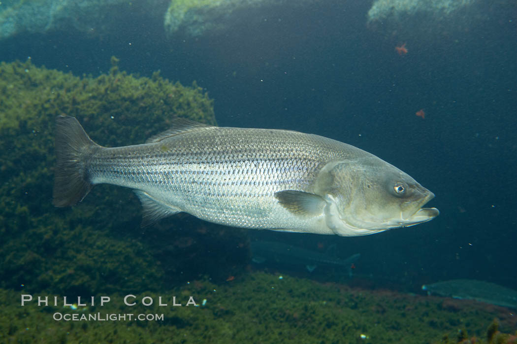 Striped bass (striper, striped seabass)., Morone saxatilis, natural history stock photograph, photo id 10989