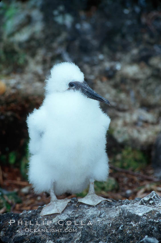 Brown booby, chick. Cocos Island, Costa Rica, Sula leucogaster, natural history stock photograph, photo id 03257