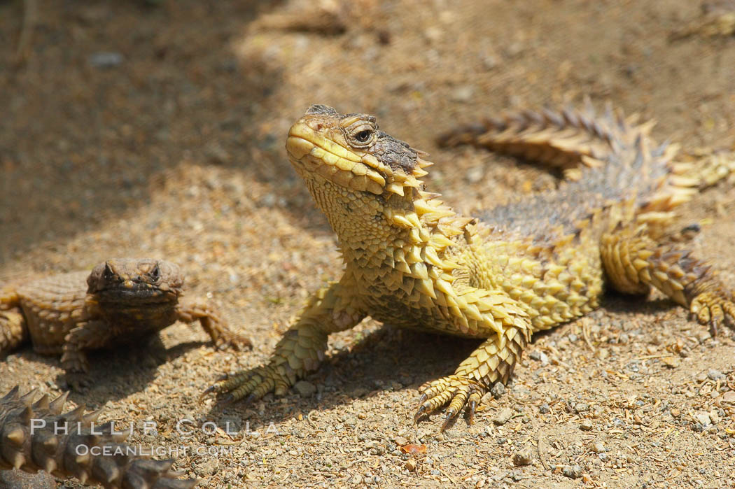 Sungazer lizard., Cordylus giganteus, natural history stock photograph, photo id 12558