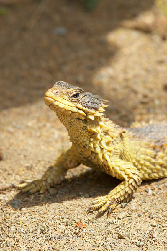 Sungazer lizard., Cordylus giganteus, natural history stock photograph, photo id 12557