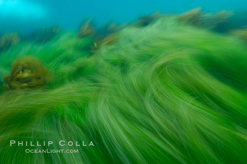 Surf grass on the rocky reef -- appearing blurred in this time exposure -- is tossed back and forth by powerful ocean waves passing by above.  San Clemente Island. California, USA, Phyllospadix, natural history stock photograph, photo id 10259