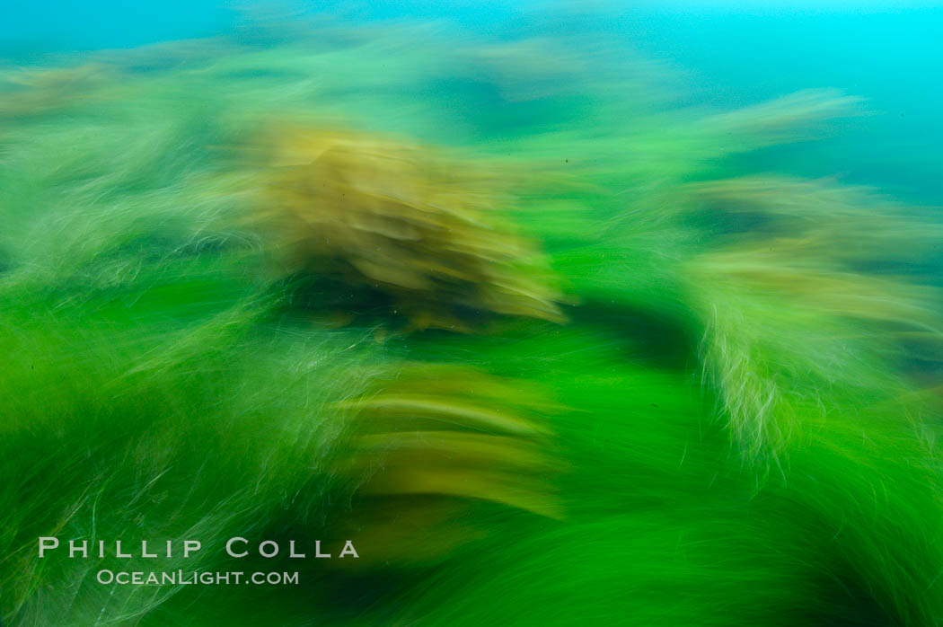 Surf grass (green) and palm kelp (brown) on the rocky reef -- appearing blurred in this time exposure -- are tossed back and forth by powerful ocean waves passing by above.  San Clemente Island. California, USA, Phyllospadix, natural history stock photograph, photo id 10269