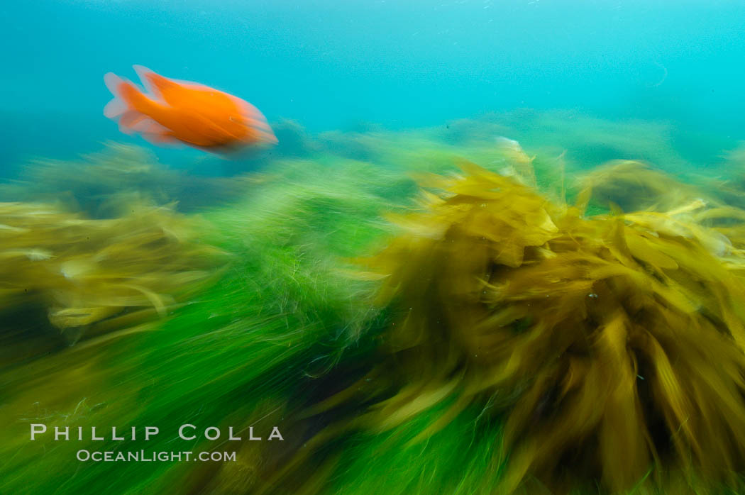 A garibaldi fish (orange), surf grass (green) and palm kelp (brown) on the rocky reef -- all appearing blurred in this time exposure -- are tossed back and forth by powerful ocean waves passing by above.  San Clemente Island. San Clemente Island, California, USA, Phyllospadix, Hypsypops rubicundus, natural history stock photograph, photo id 10238