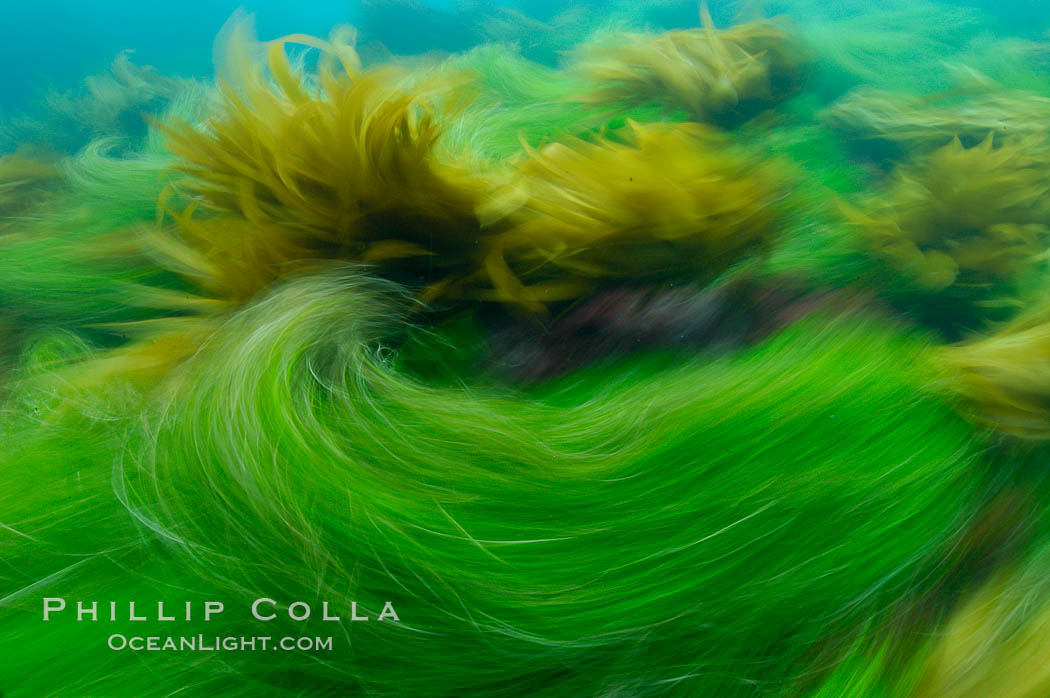 Surf grass on the rocky reef -- appearing blurred in this time exposure -- is tossed back and forth by powerful ocean waves passing by above.  San Clemente Island. San Clemente Island, California, USA, Phyllospadix, natural history stock photograph, photo id 10247