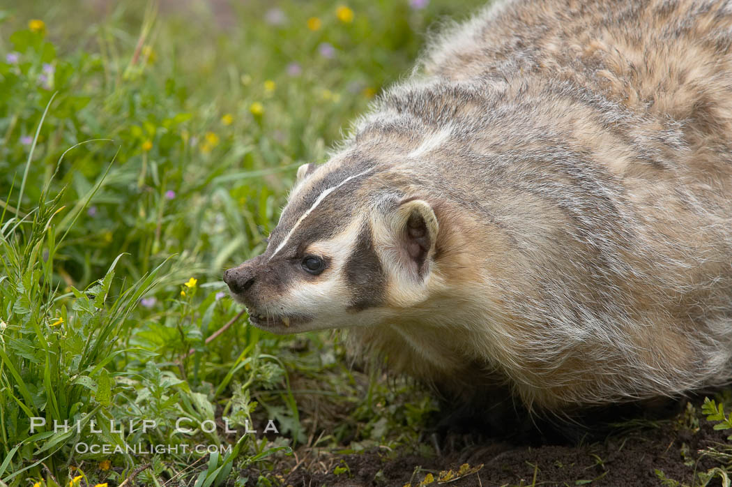 American badger.  Badgers are found primarily in the great plains region of North America. Badgers prefer to live in dry, open grasslands, fields, and pastures., Taxidea taxus, natural history stock photograph, photo id 15953
