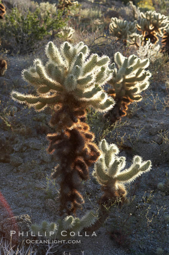 Teddy bear cholla cactus. Anza-Borrego Desert State Park, Borrego Springs, California, USA, Opuntia bigelovii, natural history stock photograph, photo id 11589