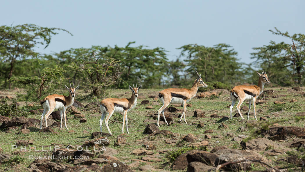 Thompson's gazelle, Maasai Mara, Kenya. Olare Orok Conservancy, Eudorcas thomsonii, natural history stock photograph, photo id 30004
