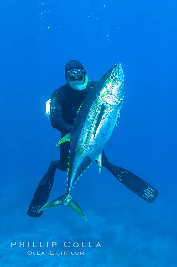 James Tate with yellowfin tuna (approx 60 pounds) taken by breathold diving with a band-power speargun near Abalone Point.  July 2004. Guadalupe Island (Isla Guadalupe), Baja California, Mexico, Thunnus albacares, natural history stock photograph, photo id 09595