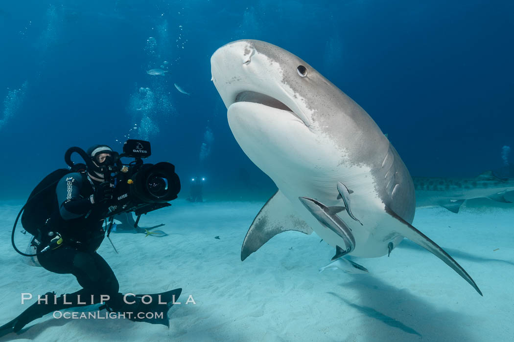 Tiger shark and underwater cameraman Jonathan Bird filming for television documentary, Galeocerdo cuvier