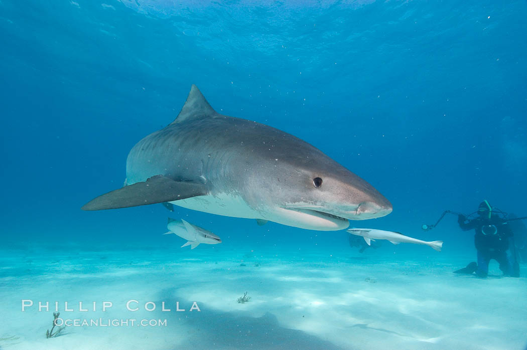 Tiger shark and photographer Ken Howard. Bahamas, Galeocerdo cuvier, natural history stock photograph, photo id 10653