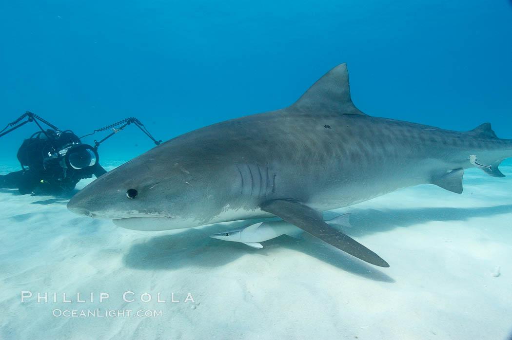 Tiger shark and photographer Keith Grundy. Bahamas, Galeocerdo cuvier, natural history stock photograph, photo id 10657