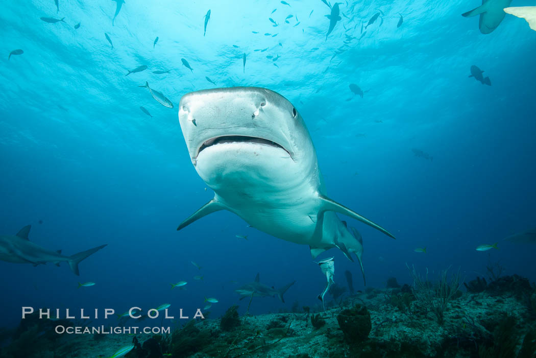 Tiger shark. Bahamas, Galeocerdo cuvier, natural history stock photograph, photo id 31888