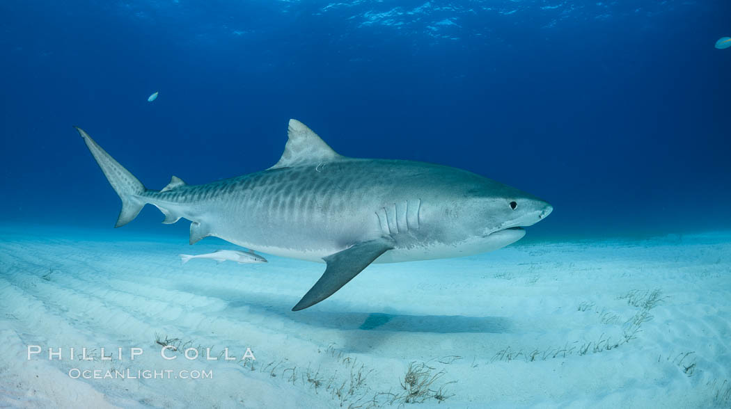 Panorama of a large Tiger shark swimming over white sand. Bahamas, Galeocerdo cuvier, natural history stock photograph, photo id 31887