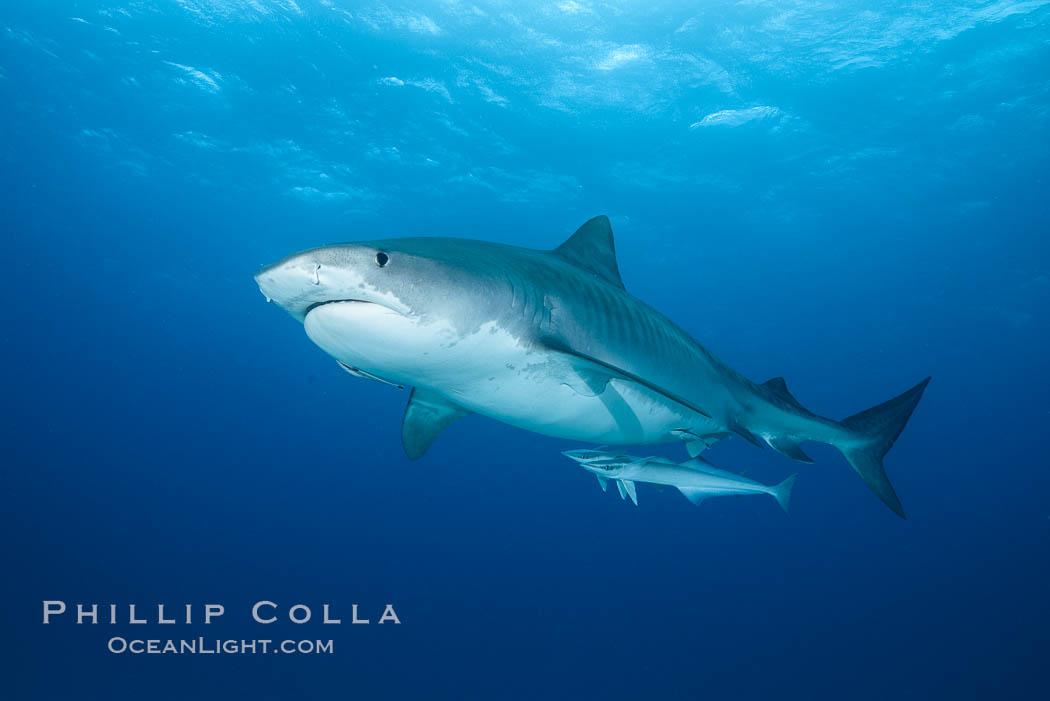 Tiger shark. Bahamas, Galeocerdo cuvier, natural history stock photograph, photo id 31893