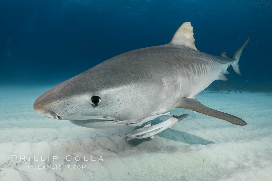 Tiger shark close up view, including nostrils and ampullae of Lorenzini, Galeocerdo cuvier