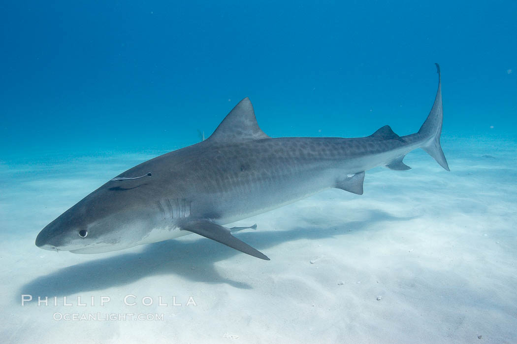 Tiger shark. Bahamas, Galeocerdo cuvier, natural history stock photograph, photo id 10646