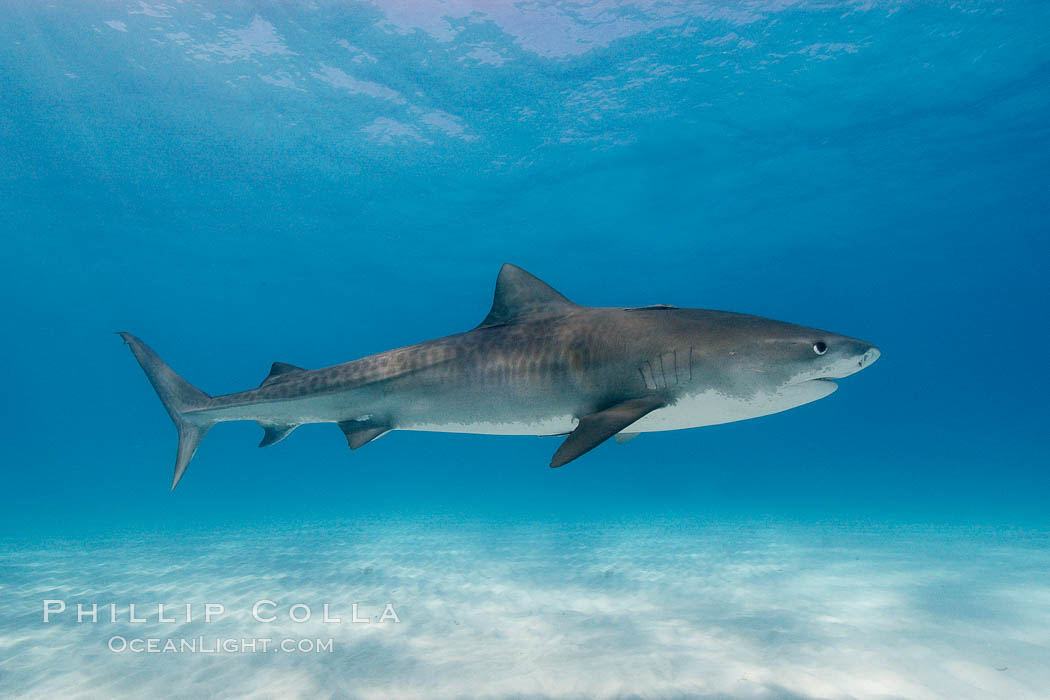 Tiger shark. Bahamas, Galeocerdo cuvier, natural history stock photograph, photo id 10748