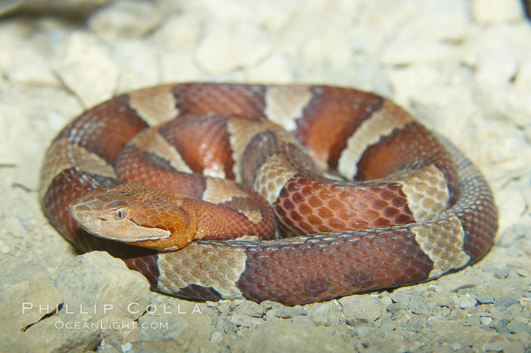 Trans-Pecos copperhead snake.  The Trans-Pecos copperhead is a pit viper found in the Chihuahuan desert of west Texas.  It is found near streams and rivers, wooded areas, logs and woodpiles., Agkistrodon contortrix pictigaster, natural history stock photograph, photo id 12582