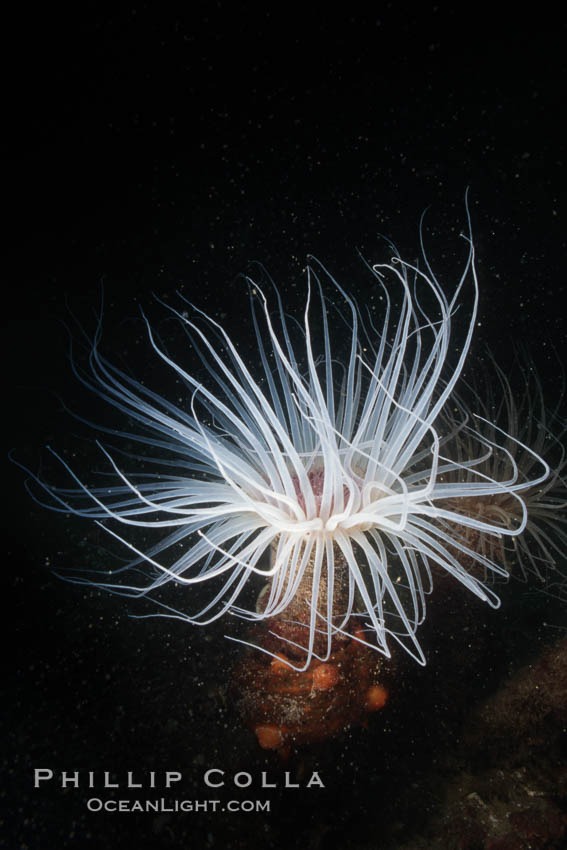 Tube anemone, San Miguel Island, Channel Islands National Marine Sanctuary. San Miguel Island, California, USA, Pachycerianthus fimbriatus, natural history stock photograph, photo id 07004