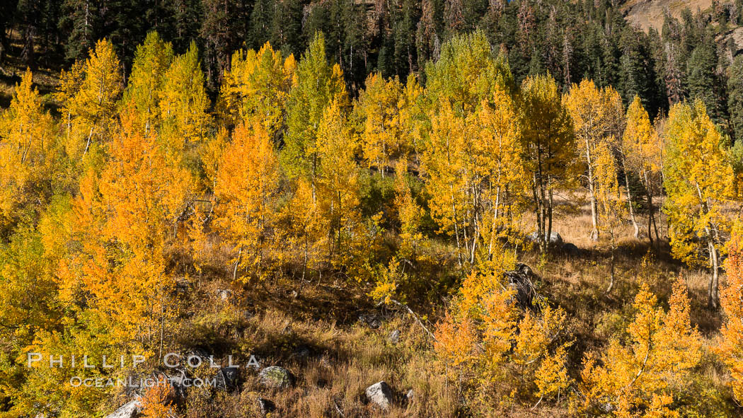 Aspens show fall colors in Mineral King Valley, part of Sequoia National Park in the southern Sierra Nevada, California. Mineral King, Sequoia National Park, California, USA, natural history stock photograph, photo id 32280