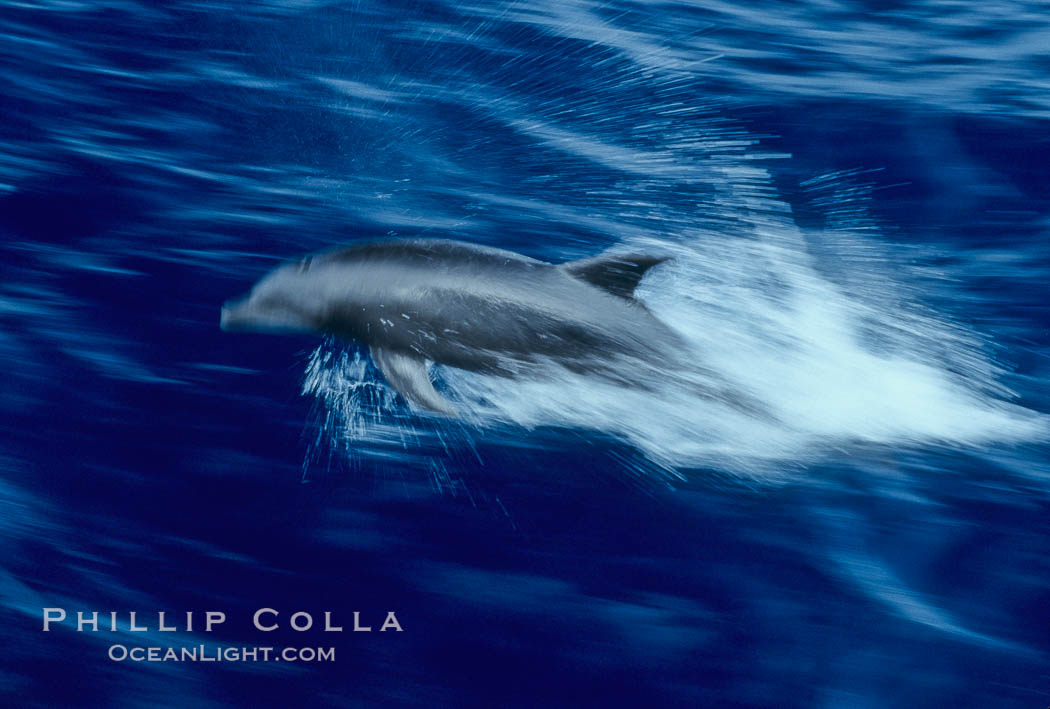 Bottlenose dolphin. Guadalupe Island (Isla Guadalupe), Baja California, Mexico, Tursiops truncatus, natural history stock photograph, photo id 03850
