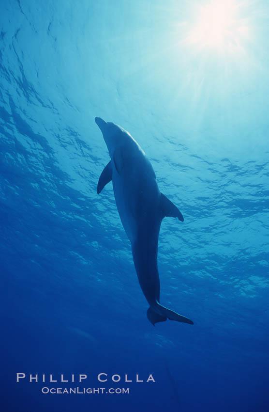 Atlantic  bottlenose dolphin. Bahamas, Tursiops truncatus, natural history stock photograph, photo id 04909