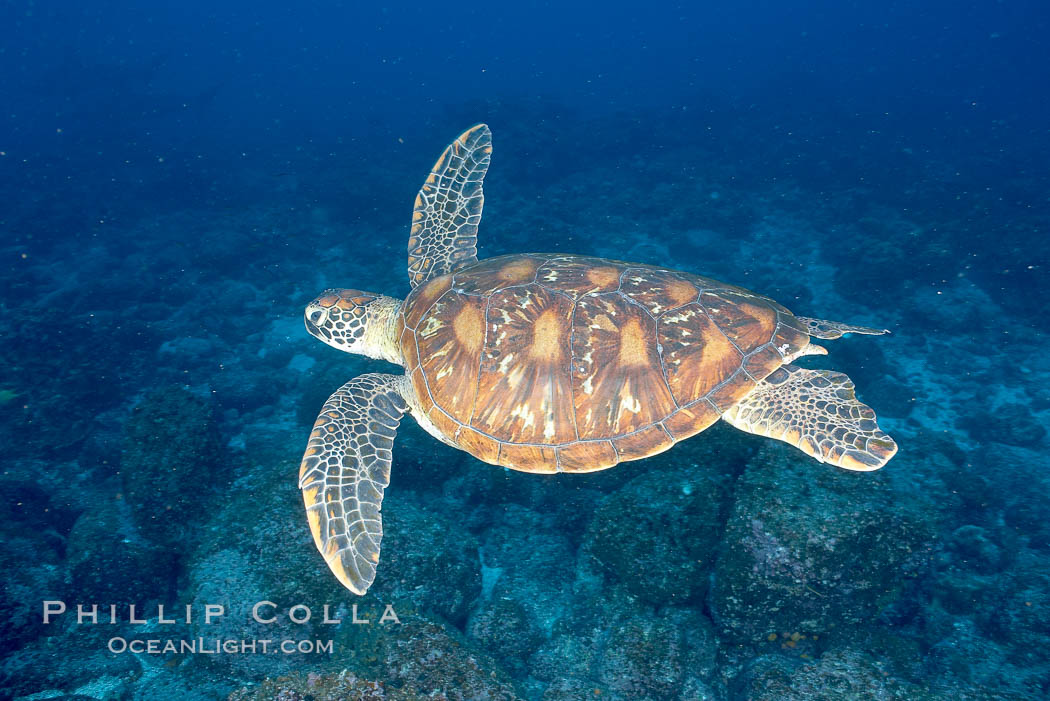Turtle. Wolf Island, Galapagos Islands, Ecuador, natural history stock photograph, photo id 16384