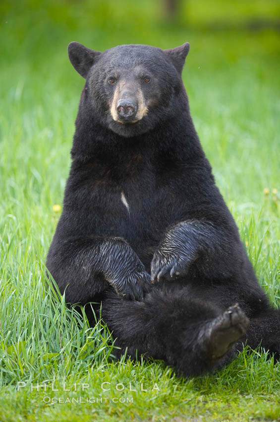 Image 18778, Black bear portrait sitting in long grass.  This bear still has its thick, full winter coat, which will be shed soon with the approach of summer.  Black bears are omnivores and will find several foods to their liking in meadows, including grasses, herbs, fruits, and insects. Orr, Minnesota, USA, Ursus americanus