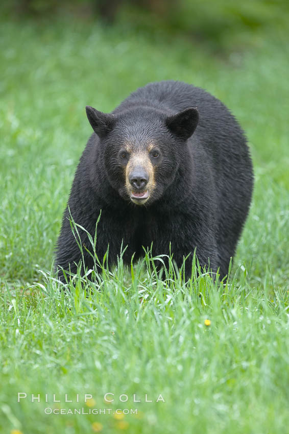 Black bear walking in a grassy meadow.  Black bears can live 25 years or more, and range in color from deepest black to chocolate and cinnamon brown.  Adult males typically weigh up to 600 pounds.  Adult females weight up to 400 pounds and reach sexual maturity at 3 or 4 years of age.  Adults stand about 3' tall at the shoulder. Orr, Minnesota, USA, Ursus americanus, natural history stock photograph, photo id 18806