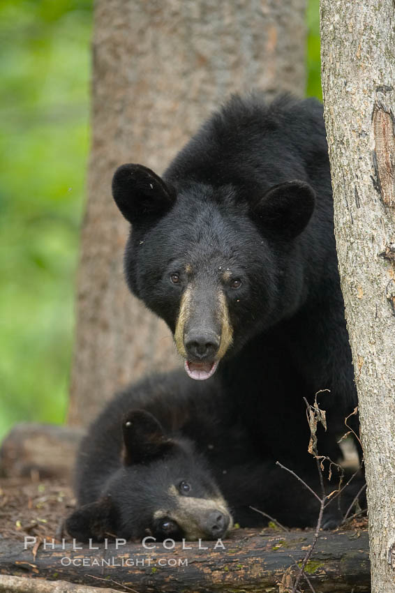 American black bear, mother and cub. Orr, Minnesota, USA, Ursus americanus, natural history stock photograph, photo id 18814