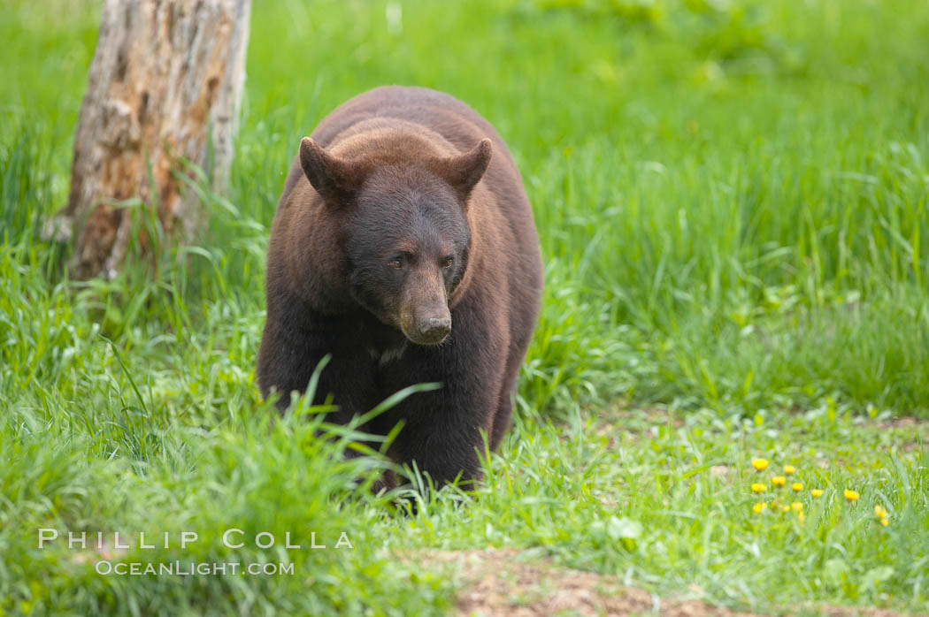 Black bear walking in a grassy meadow.  Black bears can live 25 years or more, and range in color from deepest black to chocolate and cinnamon brown.  Adult males typically weigh up to 600 pounds.  Adult females weight up to 400 pounds and reach sexual maturity at 3 or 4 years of age.  Adults stand about 3' tall at the shoulder. Orr, Minnesota, USA, Ursus americanus, natural history stock photograph, photo id 18771