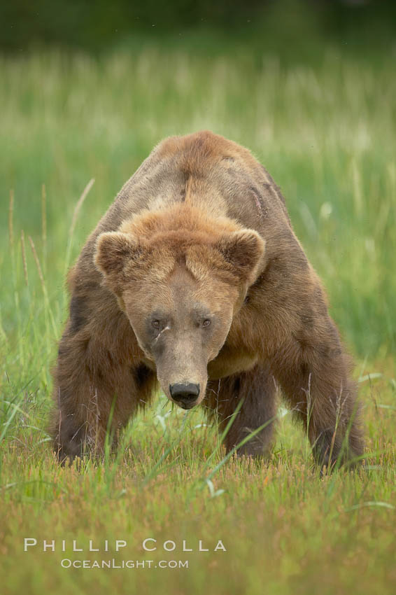 Full grown, mature male coastal brown bear boar (grizzly bear) in sedge grass meadows., Ursus arctos,  Copyright Phillip Colla, image #19134, all rights reserved worldwide.