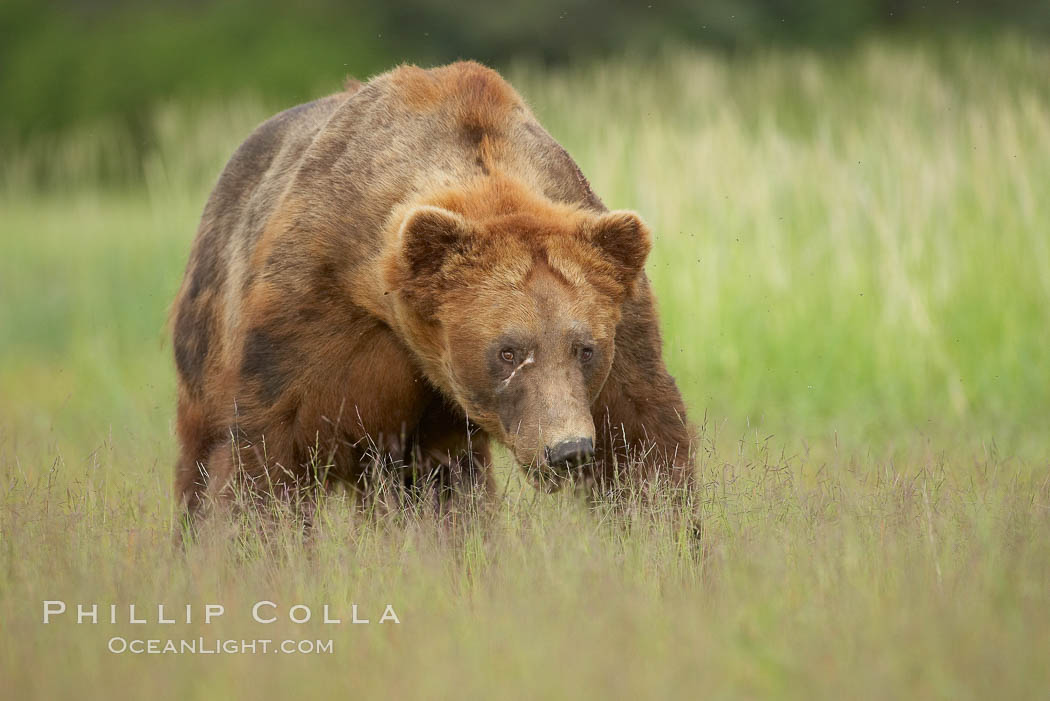 Full grown, mature male coastal brown bear boar (grizzly bear) in sedge grass meadows. Lake Clark National Park, Alaska, USA, Ursus arctos, natural history stock photograph, photo id 19151