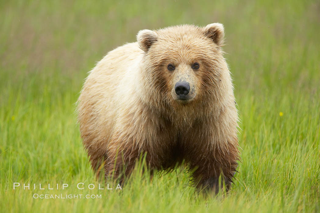 Juvenile female coastal brown bear (grizzly bear) grazes on sedge grass, Ursus arctos, Lake Clark National Park, Alaska