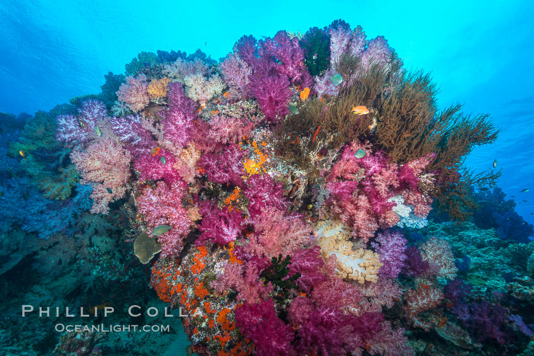 Vibrant colorful soft corals reaching into ocean currents, capturing passing planktonic food, Fiji. Nigali Passage, Gau Island, Lomaiviti Archipelago, Dendronephthya, natural history stock photograph, photo id 31724