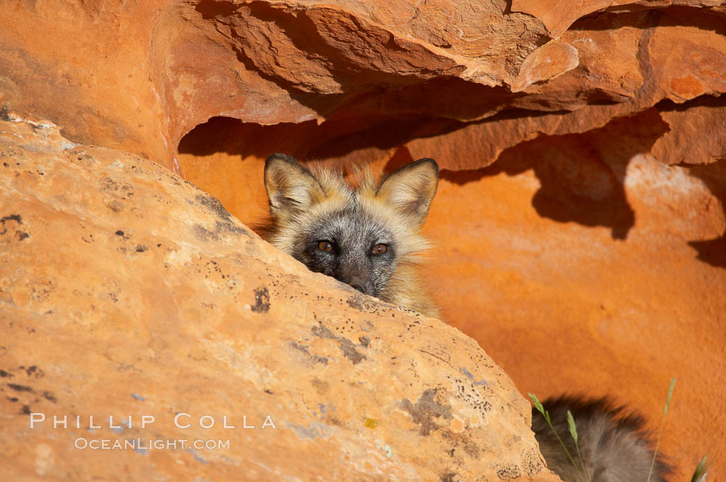 Cross fox.  The cross fox is a color variation of the red fox., Vulpes vulpes, natural history stock photograph, photo id 12113