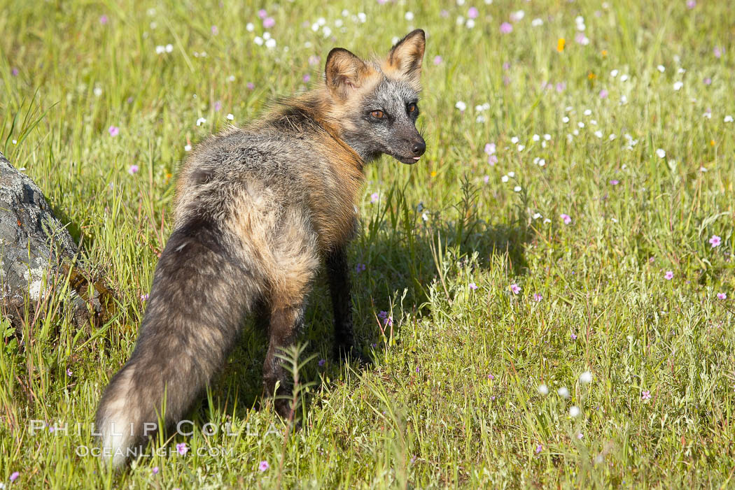 Cross fox, Sierra Nevada foothills, Mariposa, California.  The cross fox is a color variation of the red fox., Vulpes vulpes, natural history stock photograph, photo id 15965