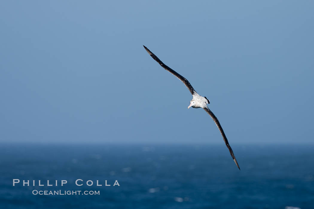 Wandering albatross in flight, over the open sea.  The wandering albatross has the largest wingspan of any living bird, with the wingspan between, up to 12' from wingtip to wingtip.  It can soar on the open ocean for hours at a time, riding the updrafts from individual swells, with a glide ratio of 22 units of distance for every unit of drop.  The wandering albatross can live up to 23 years.  They hunt at night on the open ocean for cephalopods, small fish, and crustaceans. The survival of the species is at risk due to mortality from long-line fishing gear. Southern Ocean, Diomedea exulans, natural history stock photograph, photo id 24173