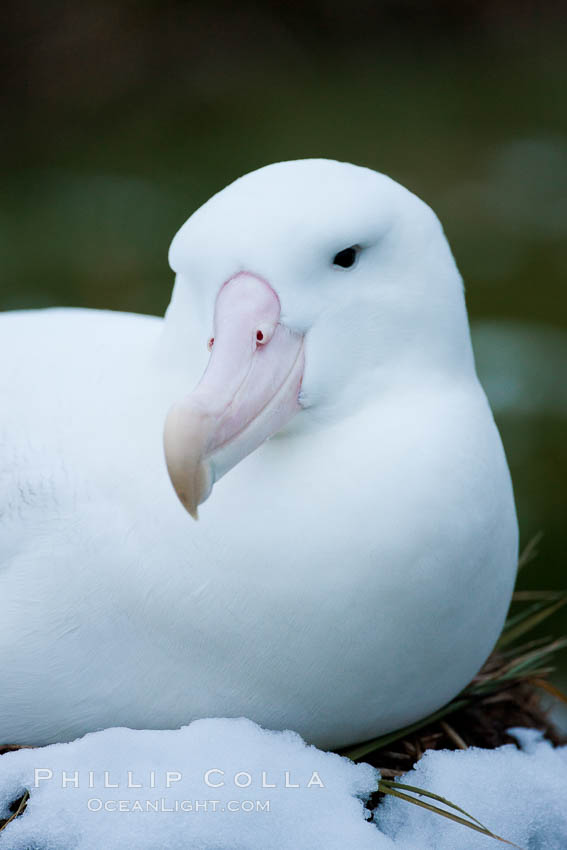 Wandering albatross, on its nest at the Prion Island colony.  The wandering albatross has the largest wingspan of any living bird, with the wingspan between, up to 12' from wingtip to wingtip. It can soar on the open ocean for hours at a time, riding the updrafts from individual swells, with a glide ratio of 22 units of distance for every unit of drop. The wandering albatross can live up to 23 years. They hunt at night on the open ocean for cephalopods, small fish, and crustaceans. The survival of the species is at risk due to mortality from long-line fishing gear, Diomedea exulans