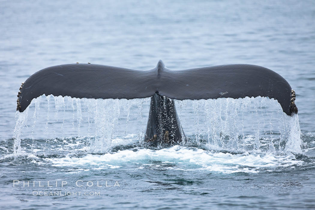 Water falling from the fluke (tail) of a humpback whale as the whale dives to forage for food in the Santa Barbara Channel, Megaptera novaeangliae, Santa Rosa Island, California